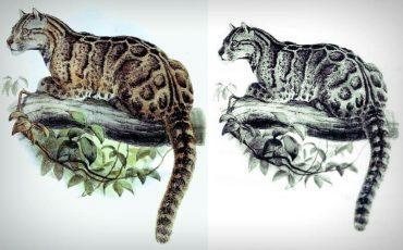台灣-雲豹-絕種-神獸-貓科-動物
